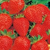 Aardbeien - Vruchtgroente Groentezaden kopen? Tuinzaden.eu