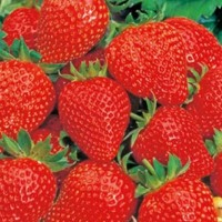 Strawberries - Vegetable seeds Fruit crop Seeds • Tuinzaden.eu