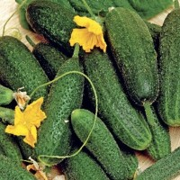 Augurk - Groentezaden Vruchtgroente Zaden kopen? Tuinzaden.eu
