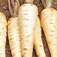 Pastinaak - Knol en wortelgroente Groentezaden kopen? Tuinzaden.eu