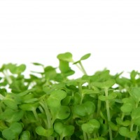 Sprouts & Microgreens - Vegetable seeds Seeds • Tuinzaden.eu