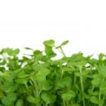 Kiemgroente & Microgreens