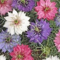Love-in-a-mist (Nigella) - Flower seeds Seeds • Tuinzaden.eu