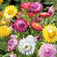 Strawflower (Helipterum) -   Flower Seeds