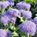 Floss Flower (Ageratum)