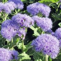 Floss Flower (Ageratum) - Flower seeds Seeds • Tuinzaden.eu