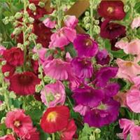 Hollyhock (Alcea Rosea) - Flower seeds Seeds • Tuinzaden.eu