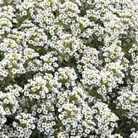 Alyssum (Lobularia) - Bloemzaden Zaden kopen? Tuinzaden.eu