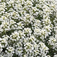 Alyssum (Lobularia) -   Flower Seeds