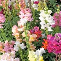 Snapdragon (Antirrhinum) - Flower seeds Seeds • Tuinzaden.eu