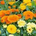 Marigold (Calendula)