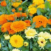Marigold (Calendula) - Flower seeds Seeds • Tuinzaden.eu