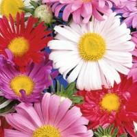 Aster (Callistephus) - Flower seeds Seeds • Tuinzaden.eu