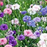 Cornflower (Centaurea) - Flower seeds Seeds • Tuinzaden.eu