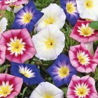 Morning Glory (Convolvulus) -   Flower Seeds