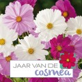 Cosmea (Cosmos)