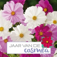 Cosmea (Cosmos) - Flower seeds • Tuinzaden.eu
