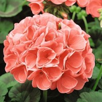 Geranium (Pelargonium) - Bloemzaden Zaden kopen? Tuinzaden.eu
