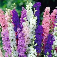 Larkspur (Delphinium/Consolida) - Flower seeds Seeds • Tuinzaden.eu