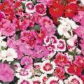 Sweet William (Dianthus)