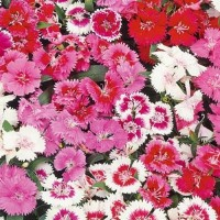 Sweet William (Dianthus) - Flower seeds Seeds • Tuinzaden.eu