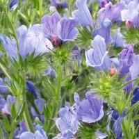 Viper's Bugloss (Echium) - Flower seeds Seeds • Tuinzaden.eu