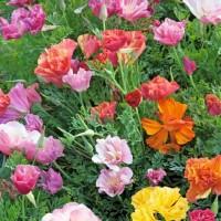 Californian Poppy (Eschscholtzia) -   Flower Seeds