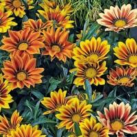 Treasure Flower (Gazania) - Flower seeds Seeds • Tuinzaden.eu