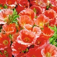 Azalea - Zomerazalea (Godetia) - Bloemzaden kopen? Tuinzaden.eu