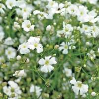 Baby's Breath (Gypsophila) - Flower seeds Seeds • Tuinzaden.eu