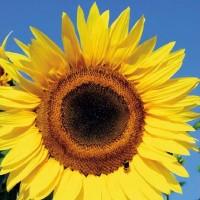 Zonnebloem (Helianthus) - Bloemzaden kopen? Tuinzaden.eu