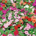 Busy Lizzie (Impatiens)
