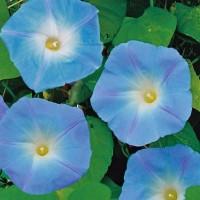Morning Glory (Ipomoea) -   Flower Seeds