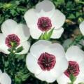 Flax (Linum)