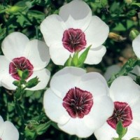 Flax (Linum) - Flower seeds Seeds • Tuinzaden.eu