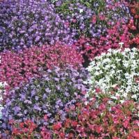 Lobelia - Flower seeds Seeds • Tuinzaden.eu