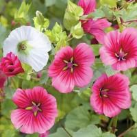 Malope Trifida - Flower seeds Seeds • Tuinzaden.eu