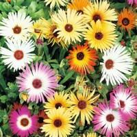 Livingstone Daisy (Dorotheanthus) - Seeds • Tuinzaden.eu