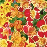 Monkey Flower (Mimulus) - Flower seeds Seeds • Tuinzaden.eu