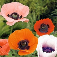 Poppy (Papaver) - Flower seeds Seeds • Tuinzaden.eu