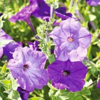 Petunia - Flower seeds Seeds • Tuinzaden.eu