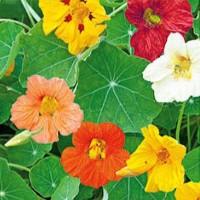 Nasturtium (Tropaeolum) - Flower seeds Seeds • Tuinzaden.eu