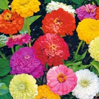 Zinnia -   Flower Seeds