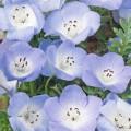 Baby Blue Eyes (Nemophila Insignis)
