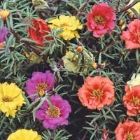 Portulaca -   Flower Seeds
