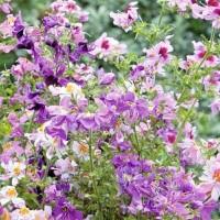 Boerenorchidee (Schizanthus) - Bloemzaden Zaden kopen? Tuinzaden.eu