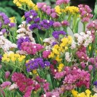 Sea Lavender (Limonium) - Flower seeds Seeds • Tuinzaden.eu