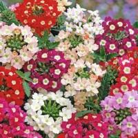 Verbana -   Flower Seeds