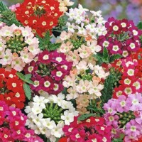 Vervain (Verbena) - Flower seeds Seeds • Tuinzaden.eu
