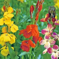 Wallflower (Cheiranthus) -   Flower Seeds